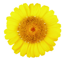 Doronikum, yellow daisy close-up, on white background
