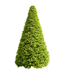 Wall Mural - Decorative cone shaped bush isolated on white