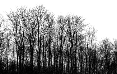 Bare trees isolated on white background