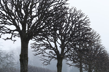 Bare trees grow in a row, foggy autumn park