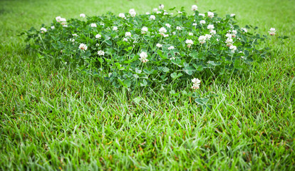 White clover flowers grow on summer lawn
