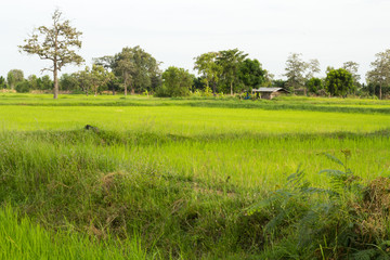 Rice. Green rice. Green rice fields in Northern Highlands of Thailand. Fresh spring green grass.Cornfield background. Rice Background.