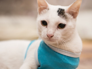 Portrait of White Cat with Blue Shirt