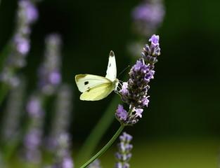 Kleiner Kohlweissling,Falter,Schmetterling