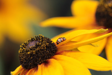 lady bug in profile on the yellow petal of a balck eyed susan