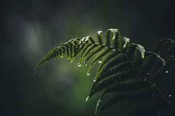 Farn mit Regentropfen