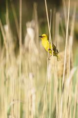 Male weaver bird on a reed