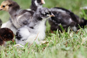 Two week old blue cochin chick with other mixed flock in the background. Shallow depth of field.