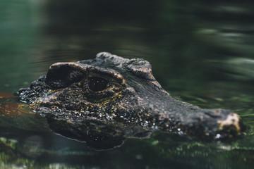 crocodiles head peeking above the water surface