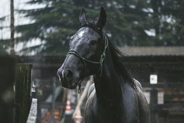 Wild horse running in the rain