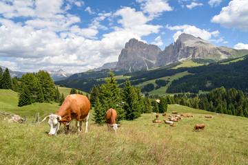 Kühe grasen auf der Seiser Alm / Südtirol