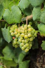 green grapes on vineyard