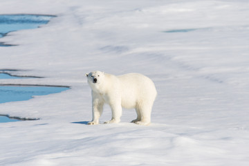 Polar bear on the pack ice