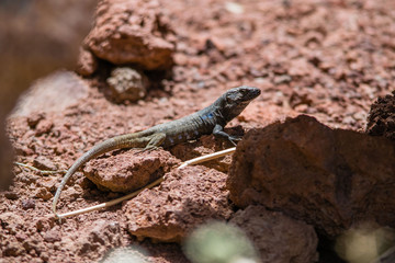 A lizard enjoying the sun on a rock in Tenerife, Canary islands, Spain