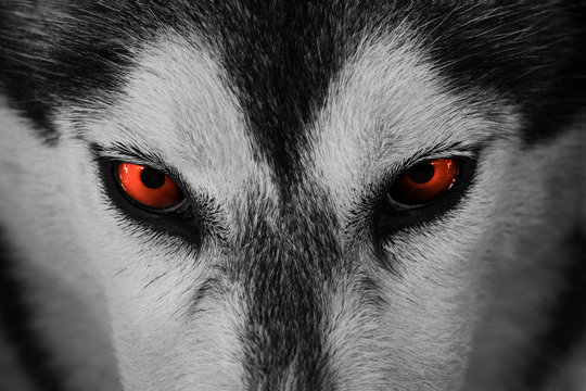 Close up on red eyes of husky