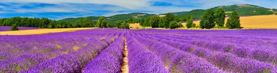 Fototapeta Panorama of lavender field obraz