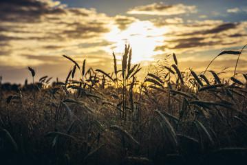 Sunset over rye field in Mazowsze region of Poland
