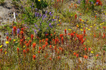 Purple lupine and Indian paintbrush