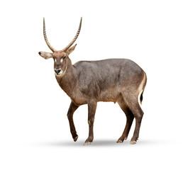 Printed roller blinds Deer Female sable antelope (Hippotragus niger)