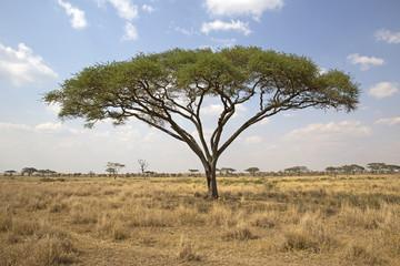 Umbrella tree in Serengeti national park, east africa