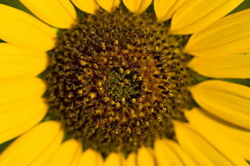 A Macro View of a Wild Sunflower