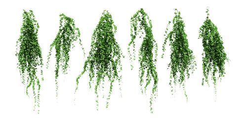 ivy leaves isolated on a white background. Green ivy plant isolated. Wall mural