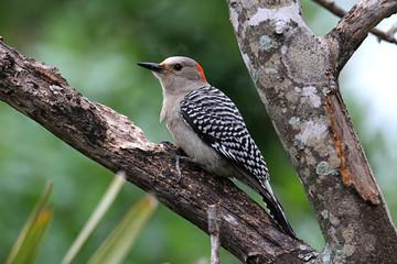 Fotoväggar - Woodpecker on a pine tree