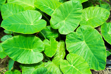 Alocasia odora (also called Night-scented Lily or giant upright elephant ear),The big green leaves