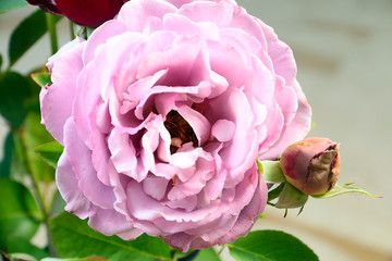 A beautiful bud of a fresh rose as an element of an ornamental plant