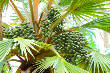 The Talipot Palm - Corypha Umbraculifera is one of the largest palms in the world. Natives have a wide range of uses for this palm, food, medicines and other commodities for their use from this trees.