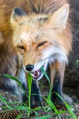Bildergebnis für Fuchs frisst gras