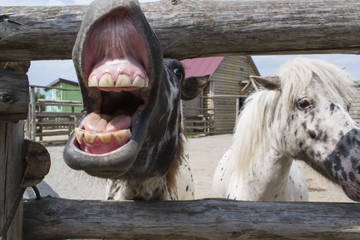 Pony is laughing