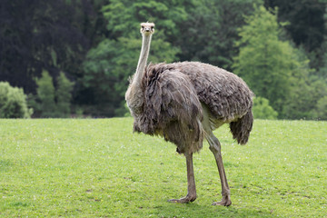 Close portrait of an ostrich standing in a field looking forward against a natural background