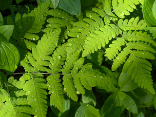 Water drops on the leaves of a fern.