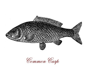 Vintage engraving of common carp, freshwater fish since antiquity important food resource for humans