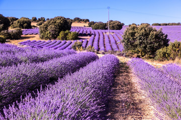 Lavender flower field