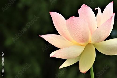 Lotus flower in full bloom lotus close up on dark blurry background lotus flower in full bloom lotus close up on dark blurry background national flower mightylinksfo