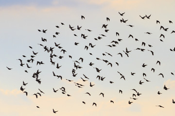 Silhouettes of birds flying in the sky