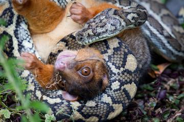 Python ready to eat a Possum