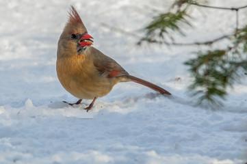 The Cardinal 9146