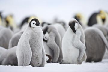 Emperor Penguin (Aptenodytes forsteri), chick at Snow Hill Island, Weddel Sea, Antarctica