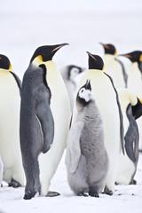 Emperor Penguin (Aptenodytes forsteri) pair feeding chick at Snow Hill Island, Weddel Sea, Antarctica