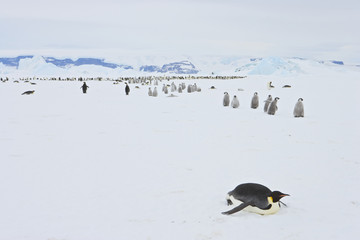 Emperor Penguin (Aptenodytes forsteri) marching with chicks at Snow Hill Island, Weddel Sea, Antarctica