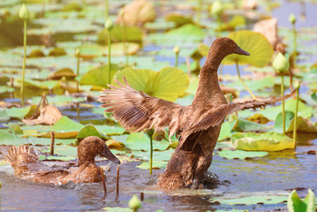 Brown Ducks swimming in the lotus pond.