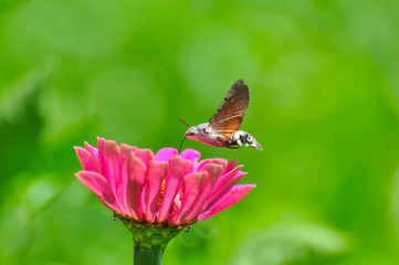 Hummingbird Hawk Moth (Macroglossum stellatarum) sucking nectar from wildflower. Hummingbird hovering over pink flowers