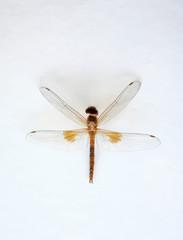 Close-up brown natural dragonfly