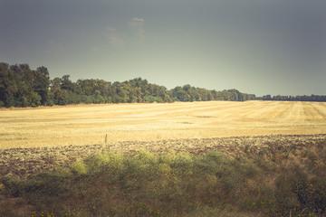 Empty wheat field