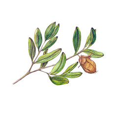 Watercolor isolated illustration of jojoba branch