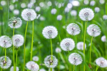 seed  dandelion  flower  plant