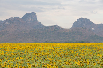 Big full bloom sunflower field with mountain background, natural landscape background